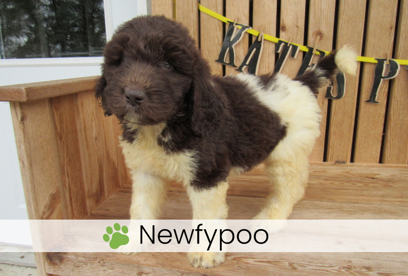 Newfypoo puppies for sale in Ohio