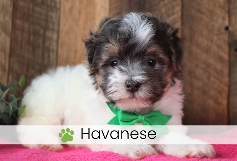 Havanese puppies for sale in Ohio
