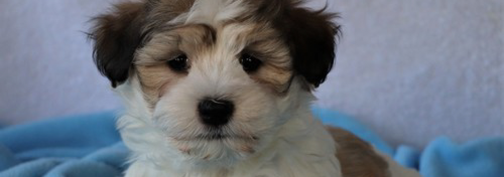 Health guarantee AKC Havanese Puppies