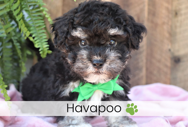 Havanese poodle mix puppies for sale in Ohio