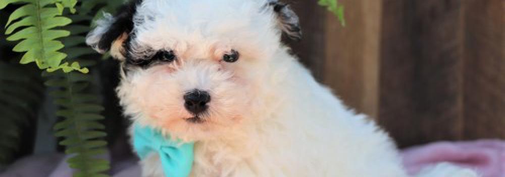 Havapoo designer breed puppies for sale