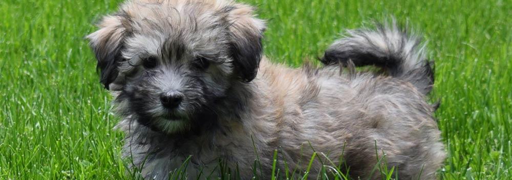Health guarantee AKC Havanese Puppies