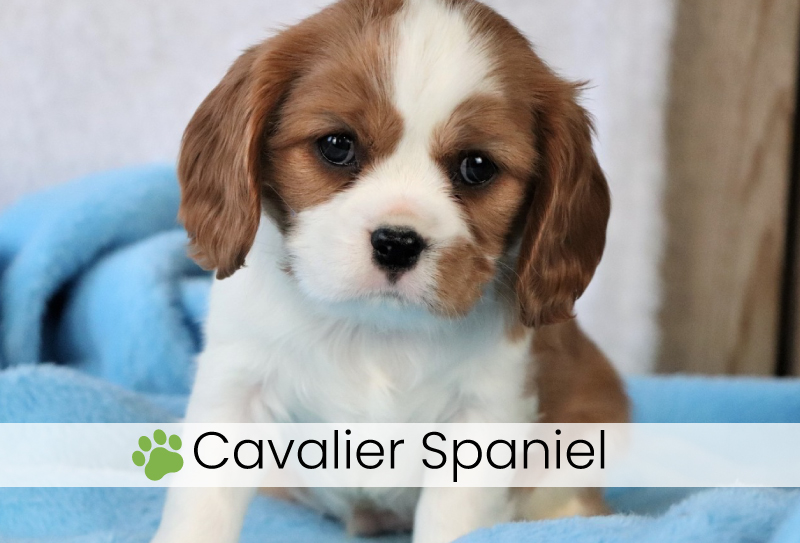 Cavalier Spaniel puppies for adoption in Ohio