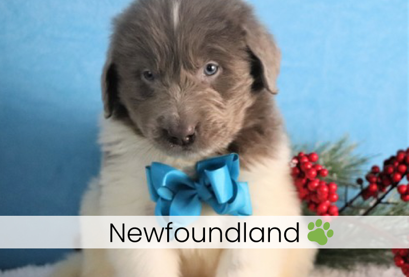 Newfoundland puppies for sale in Ohio
