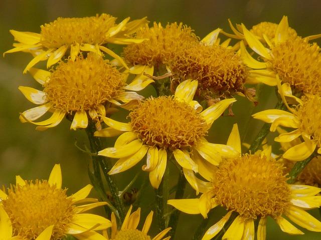Arnica Montana Homeopathic Remedy