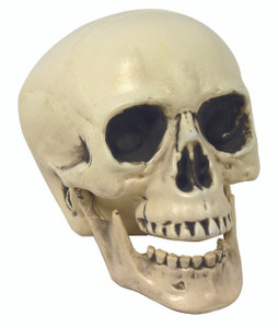 Skull Prop with  Movable Jaw