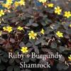 Oxalis vulcanicola 'Burgundy'  - Burgundy Shamrock