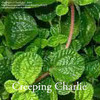 Pilea nummulariifolia  - Creeping Charlie