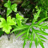Doryopteris pedata - Digit Fern