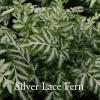 Pteris evergemiensis - Silver Lace Fern