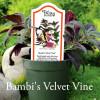 Ruellia makoyana - Velvet Vine