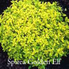 Mini Spirea 'Golden Elf'