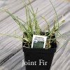 Ephedra regeliana - Joint Fir