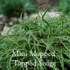 Carex 'Beatlemania'- Mini Mop-Topped Sedge