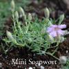 Saponaria x oliviana - Miniature Soapwort