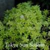 Sedum japonicum 'Tokyo Sun' - Tokyo Sun Sedum
