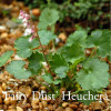 Heuchera pulchilla 'Fairy Dust'