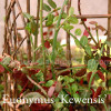 Euonymus fortune 'Kewensis'