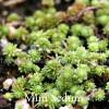 Sedum grisbachii - Mini Sedum