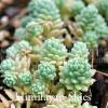 Sedum dasyphyllum 'Himalayan Skies'  - Himalayan Skies Sedum