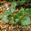 Heuchera pulchilla 'Fairy Dust'