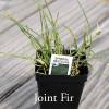 Ephedra regeliana - Joint Fir