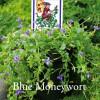 Lindernia grandiflora - Blue Moneywort