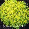 Spirea 'Golden Elf'