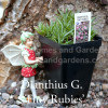 "Dianthus G. ""Tiny Rubies"""