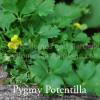 Potentilla crantzii 'Pygmaeus'  -Pygmy Potentilla
