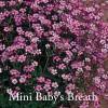 Gypsophila repens 'Rosea - Miniature Baby's Breath