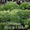 Jovibarba hirta subsp. arenaria - Miniature Hens and Chicks