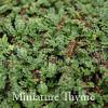 Thymus praecox 'Minus'  - Miniature Thyme