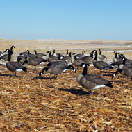 DOA Rogue Series Fullbody Canada Goose Decoys
