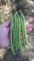 FRENCH BEAN (Fagiolo rampicante) Kentucky Blue