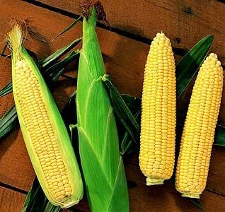 Sweet Corn Mais Max The Italian Gardener Pty Ltd