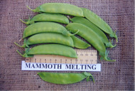 SNOW PEA (Pisello Dolce) Mammoth Melting
