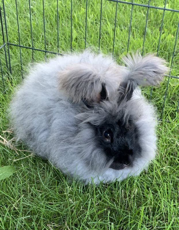 grey-angora-rabbit-simon.jpg