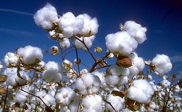 yarn-cotton.jpg