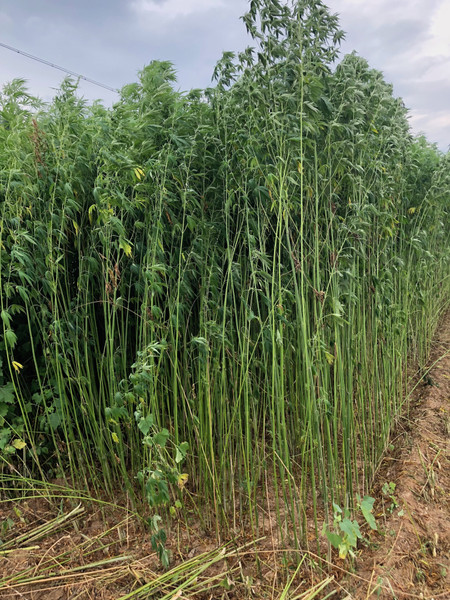 Hemp fiber crop growing