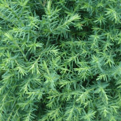 Chamaecyparis thyoides 'Heatherbun'