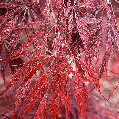 Acer palmatum 'Tamukeyama' 1