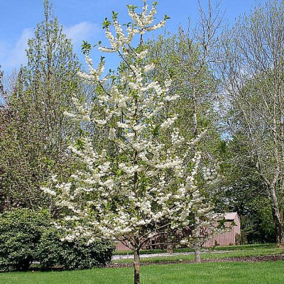 Halesia tetraptera 'Wedding Bells'
