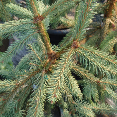Picea abies 'Upright Weeping Norway'