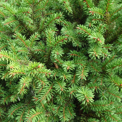 "Picea abies 'Little Gem' 24"" standard"