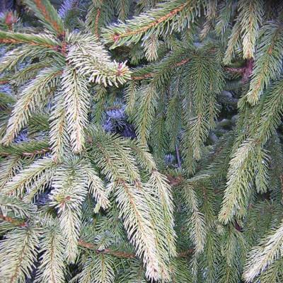 Picea abies 'Elegantissima'