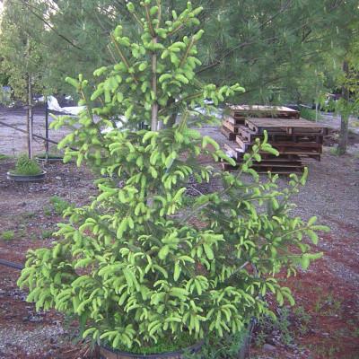 Picea abies 'Aurea'