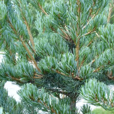 Pinus parviflora 'Watnong'