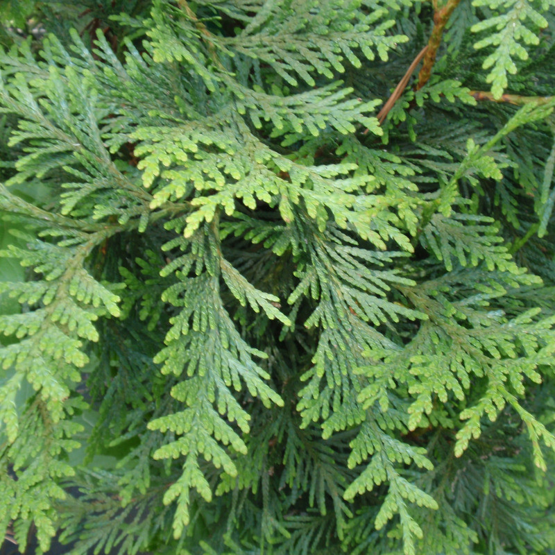 Picture of Live Wester Red Cedar aka BUYIN-Thuja plic. 'Green Giant Plant Fit 1 Gallon Pot