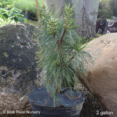 Pinus koraiensis 'Oculis Draconis'